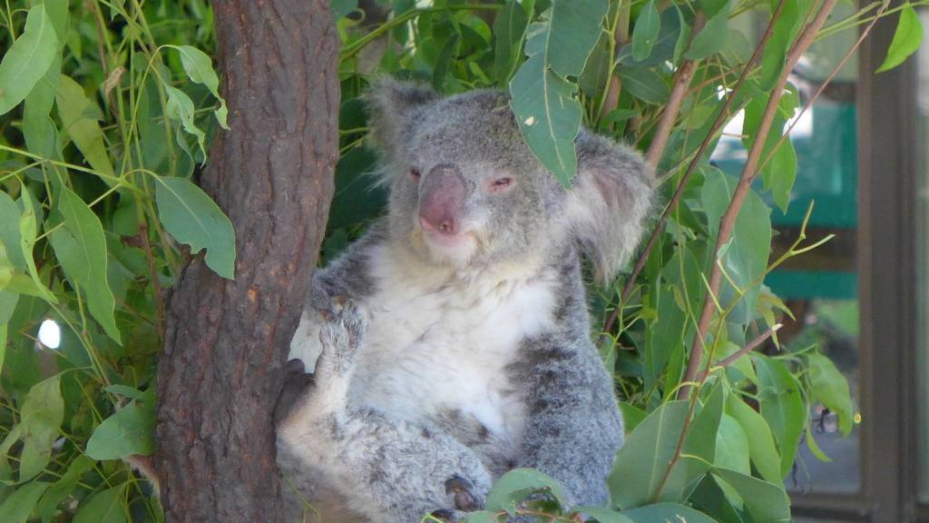 Kleiner Koala. Sie fressen am liebsten Eukalyptus und gehören zu den bedrohten Tieren Australiens
