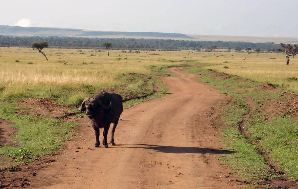Safari Kenia Büffel