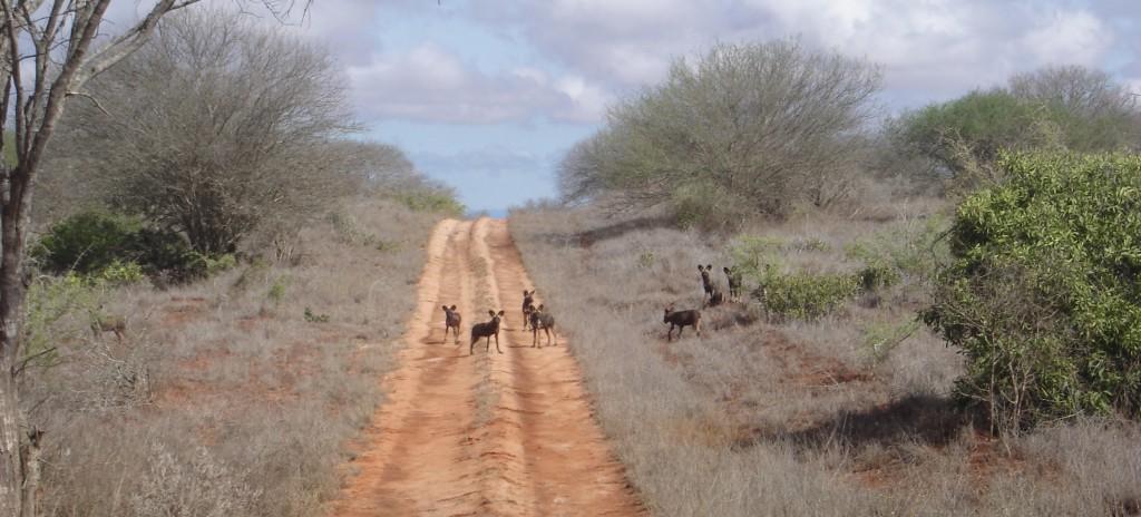 Kenia Safari Hyänen