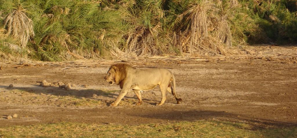 Fotoreise Kenia Safari Löwe