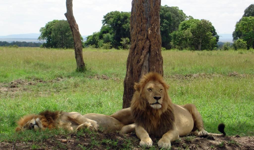 Fotoreise Kenia Safari Löwen