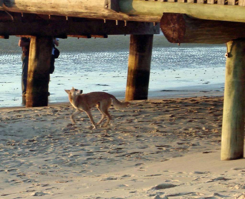 Dingos sind Raubtiere. Deshalb ist es besser, wenn man ihnen aus dem Weg geht, Fraser Island, Queensland, Australien @Foto: M.Persian