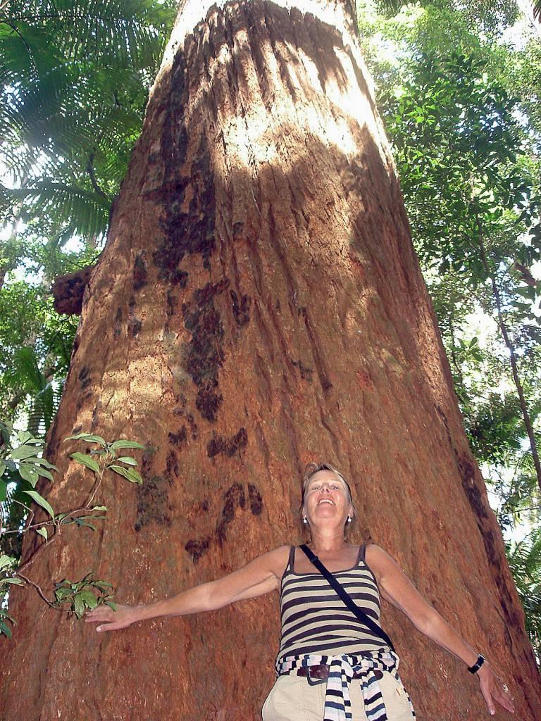 Riesige Mammutbäume wachsen auf weißem Dünensand - das ist weltweit einmalig
