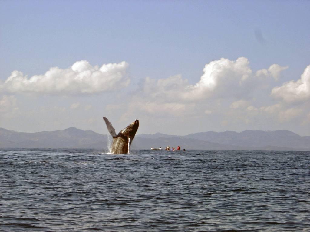 Bis zu 4000 Wale ziehen zwischen Mai und Oktober an der Küste von News South Wales un Queensland vorbei. Die Tiere kommen von der Antarktis @Foto: M.Persian