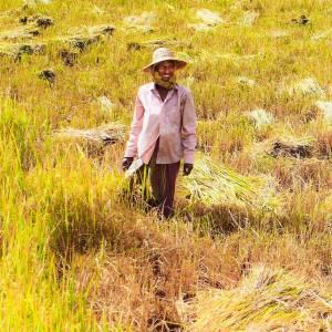 Reisbauer bei der Ernte