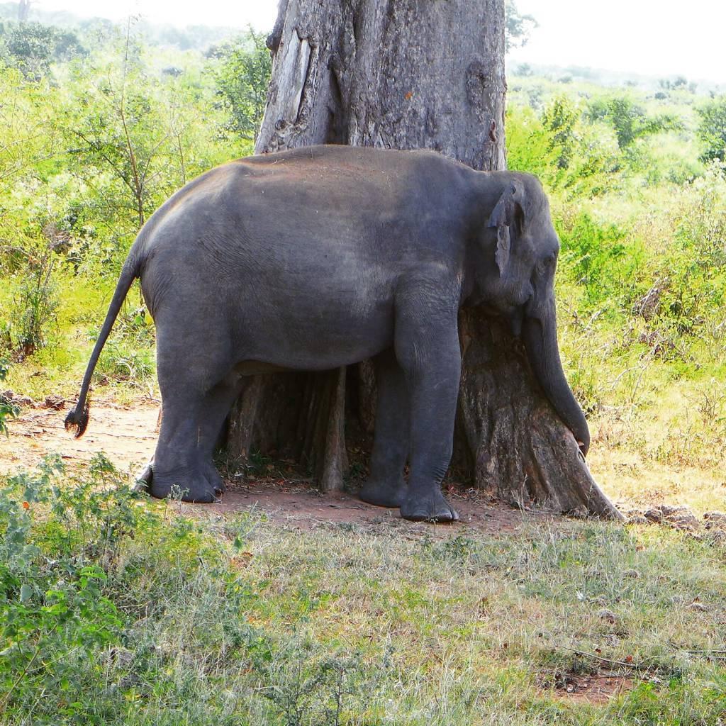 Elefant allein unterwegs. Irgendwie mochte er den Baum den er mit seinem Rüssel umarmte