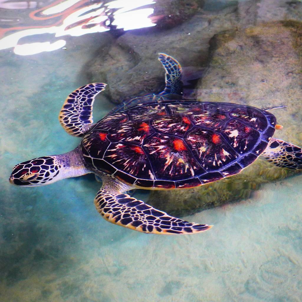 Tage alt ist die kleine Schildkröte. Groß genug um in den Indischen Ozean ausgesetzt zu werden