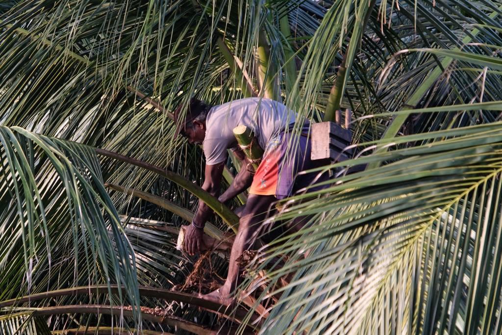 Ein toddy tapper bei der Arbeit. In luftiger Höhe zapft er den Saft aus den Palmen