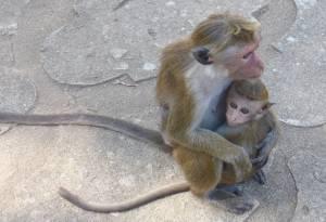 Affen auf dem Gelände des Höhlentempels in Dambulla Foto: © M.Persian