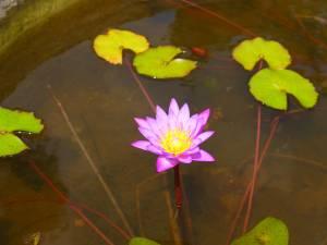 Lotusblüte, Sri Lanka, Glücksbringer